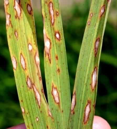 پاورپوینت بیماری بلاست برنج Blast Disease Of Rice