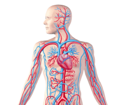 پاورپوینت دستگاه گردش خون